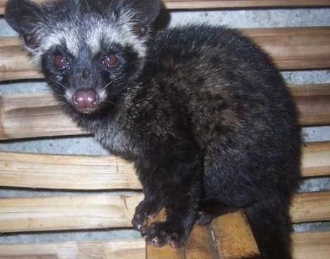 Asian palm civet - Found in the jungles of Asia  Paradoxurus hermaphroditus, juvenile, taken at Situgede, Bogor, Indonesia