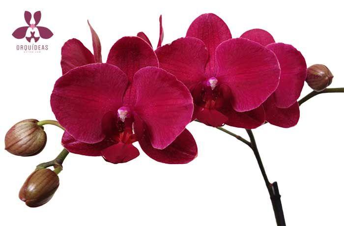 Orquídea Siena Especial