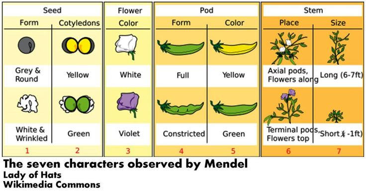 the seven characters observed by Mendel peas genetics
