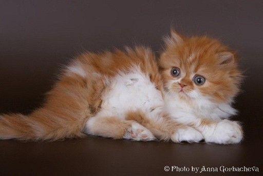 питомник шотландских Котята для ВАС - Сайт lenfold!