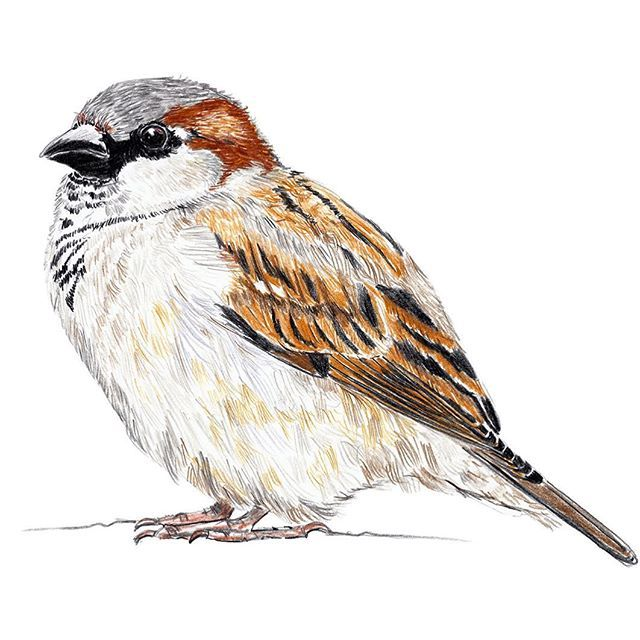 Kleine dicke Spatzen, wir lieben sie. Little fluffy sparrows, we love them. #sparrow #berlinerspatzen #welovesparrows #Birds #vögel #berlin #draw #drawing #janinesommer #pencildrawing #pencil #spatz #sperling #haussperling