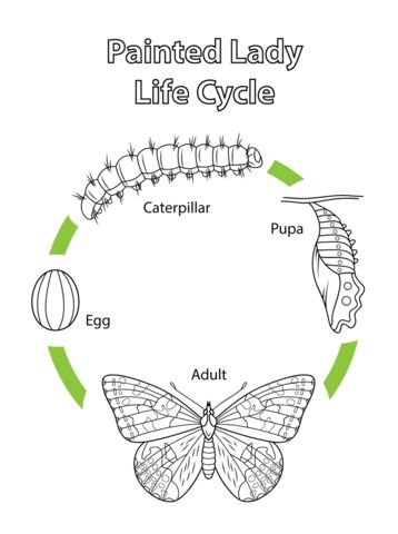Life Cycle of a Painted Lady Butterfly coloring page from Butterfly category. Select from 21529 printable crafts of cartoons, nature, animals, Bible and many more.