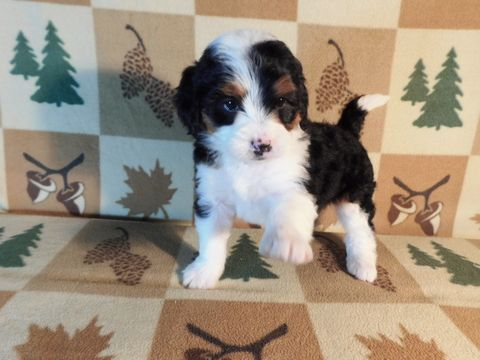 Miniature Bernedoodle Puppy For Sale In Millersburg Oh Adn 60280