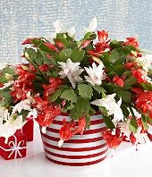 Christmas Cactus -- love the idea of mixing the two colours together