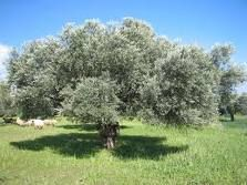Herbs-Treat and Taste: OLIVE TREE: MEDICINAL BENEFITS OF OLIVE TREE, USES AND HISTORY: BLACK OLIVE SAUCE ARAB STYLE RECIPE