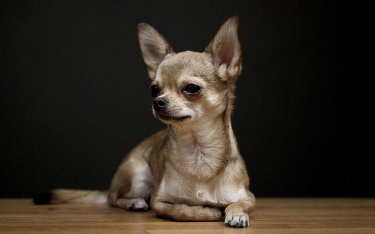 El chihuahua es sin duda alguna un perro diminuto, es vivaz y muy inquieto. A pesar de su tamaño es un perro valiente que no teme enfrentarse a otros perros
