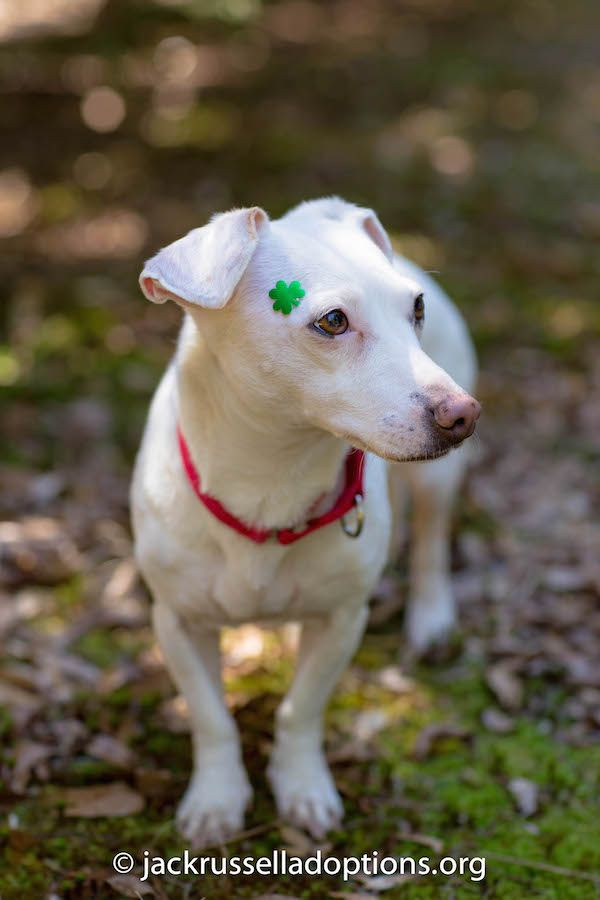 Happy St. Patrick's Day! | Georgia Jack Russell Rescue, Adoption and Sanctuary