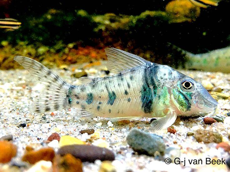 Good Sexyy midget suckermouth catfish unison