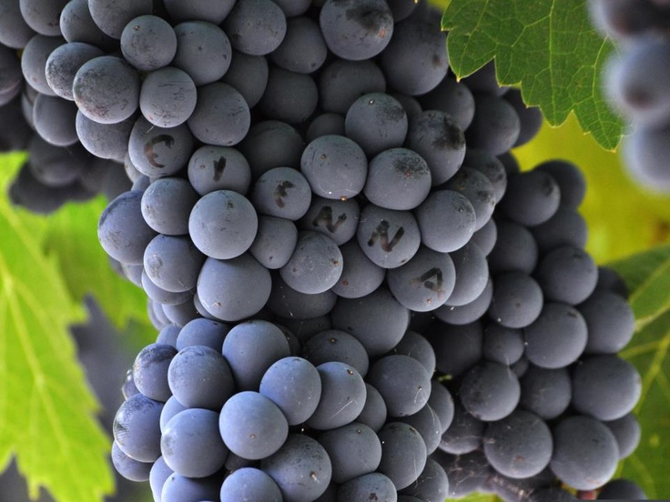 Cienna grapes growing in the Murray Valley, Australia.