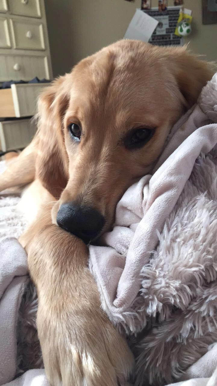 Big Retriever Loves To Chill In The Bed In 2020 Best Pet Dogs My Pet Dog Pet Dogs