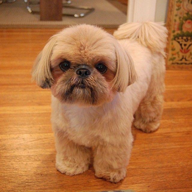 Picture Perfect Shih Tzu Shitzu Dogs Shih Tzu Haircuts