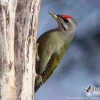 Grey-headed Woodpecker (male) by Thomas Hochebner