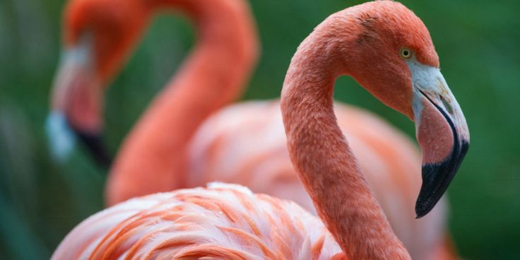 14 Fun Flamingo Facts - Things You Didn't Know About Flamingos