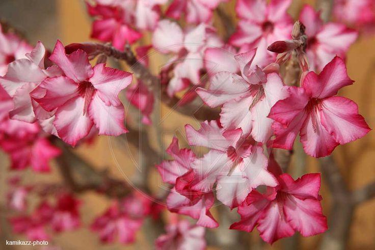 Rose du désert - Baobab chacal - Adenium obesum - Kamikazz • Agence photo