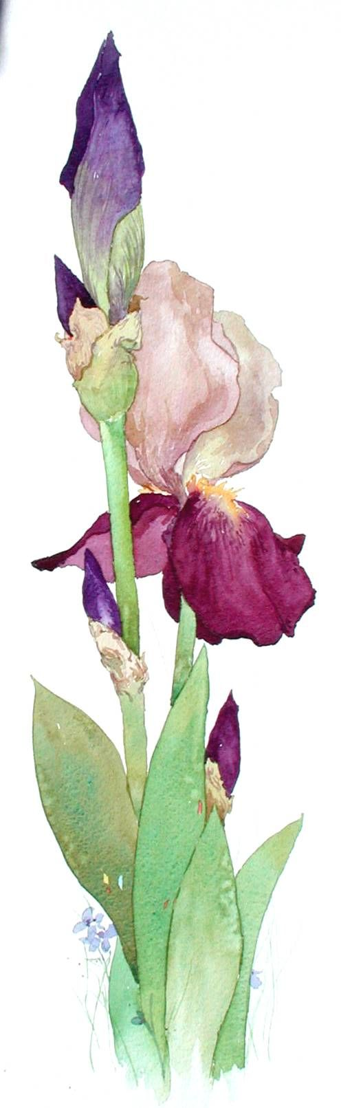 Jerianne Van Dijk WATERCOLOR - I don't like bearded iris, but this is wonderful
