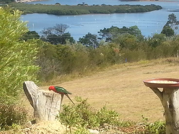 Always honoured to see the King Parrots back in the garden at Lake Pambula.