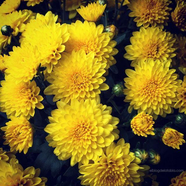 El Blog de La Tabla: En otoño, crisantemos. Hablando de crisantemos