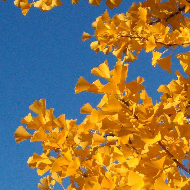 #miłorząb #gingko #GingkoBiloba #żółtedrzewo #żółteliście #żółte #niebieskie #niebo #niebieskieniebo #ogrodnictwo #budynek35 #jesień #WOBiAK #SGGW 🔵🍂 #gingkotree #jellowtree #jellowleaves #jellow #blue #sky #blusky #horticulture  #building35 #autumn #fall #WULS