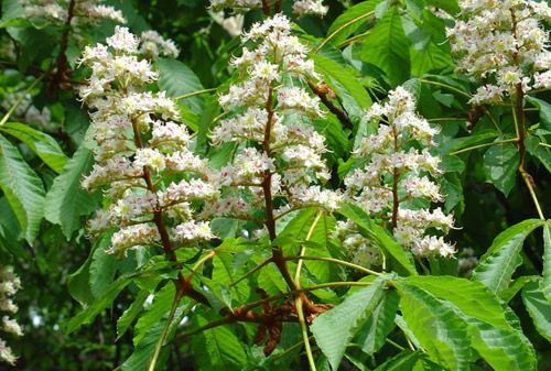 Aesculus californica; California Buckeye; attracts hummingbirds; seed pods for flower arrangements