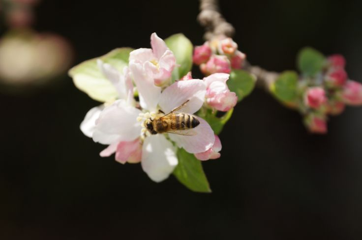 Bees in blossom