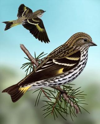 Pine Siskin - Whatbird.com