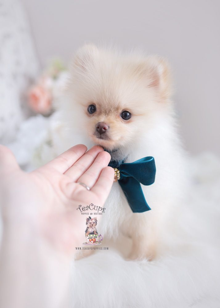 Pomeranian Puppy For Sale Teacup Puppies Florida 267 C Pomeranian Puppy Pomeranian Dog Teacup Puppies