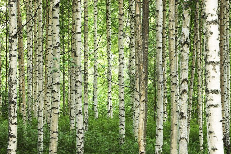 Clear Birch Forest - Fototapeter & Tapeter - Photowall