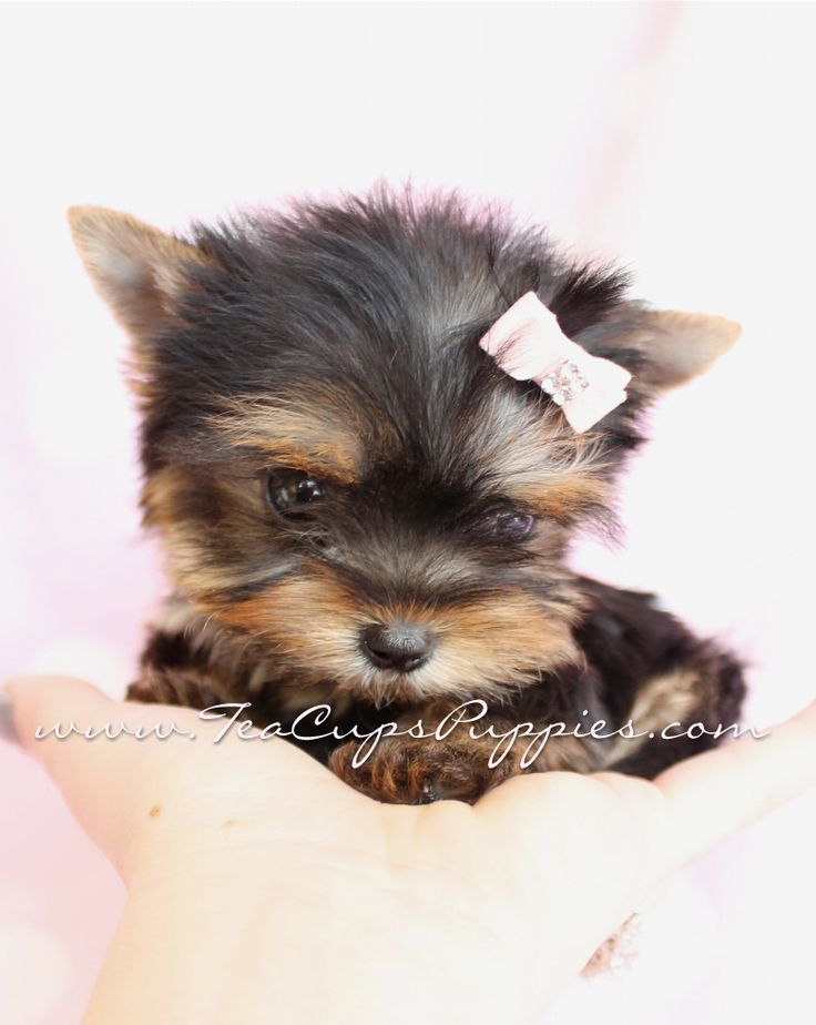 Yorkie Puppies | teacup yorkie, my dream dog | I want ...