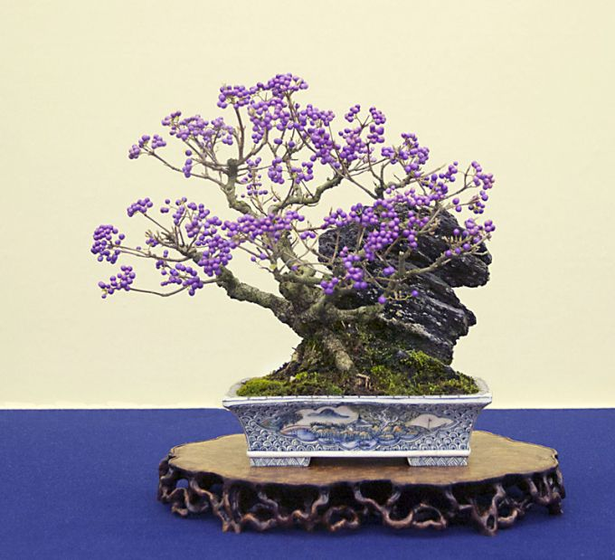 So pretty Bonsai Tree with purple berries, in a blue and white dish
