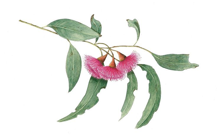australian native flower illustration - Google Search