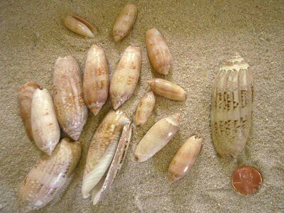 Lettered Olive Panama City Beachbeach Stuffseashellsolivesslippersanibel 48 Best Seashells That I Have Images On Pinterest Clam Shells Sea