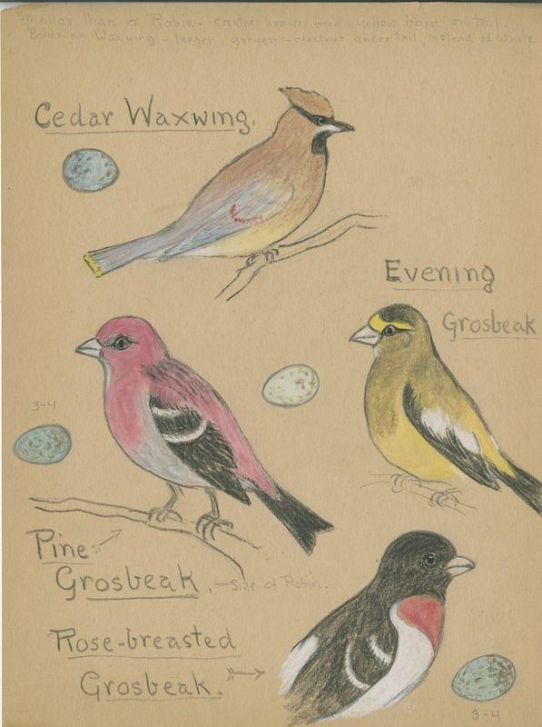 Cedar Waxwing, Evening Grosbeak, Pine Grosbeak, ... | saskhistoryonline.ca