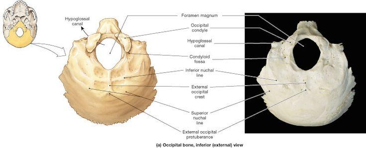 Axial Skeleton | Learn Skeleton Anatomy - Visible Body