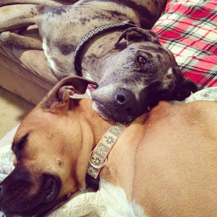 Boxer Great Dane mix and boxer Rottweiler mix cuddling :)- would be like our puppies and my parents new puppy in the future!!!