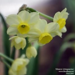 Minnow - dvärgnarciss