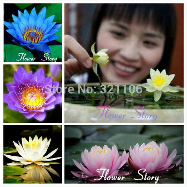 Free Shipping 5 Mixed Color Water lily(lotus ,nymphaea)Seeds   beautiful  DIY Home GardenAquatic Plants-in Bonsai from Home & Garden on Aliexpress.com | Alibaba Group