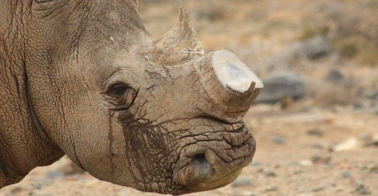 Fake rhino horn to save the rhinos? Conservationists aren't so sure A biotech…