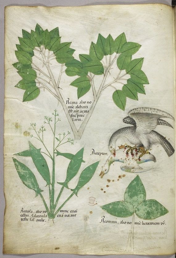 """Tractatus de Herbis (ca.1440) Selections from a beautifully illustrated 15th century version of the """"Tractatus de Herbis"""", a book produced to help apothecaries and physicians from different linguistic backgrounds identify plants they used in their daily medical practise. No narrative text is present in this version, simply pictures and the names of each plant written in various languages,. miniature of plants, and of a bird of prey killing a duck"""