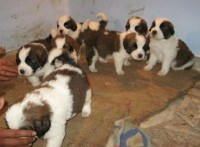 Dogshub We sale all type of good quality pups, best quality guaranteed and 100% Reasonable & competitive price. We offer u a wide range pet & show quality dog pups to your loving homes, best quality and best price according to the quality. Our puppies are trustworthy and value to your price. Pups are strong heads & bones.