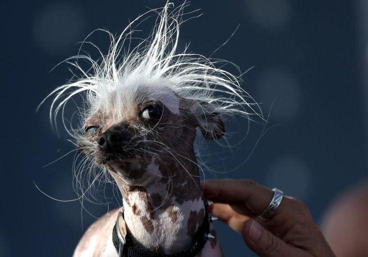 Neapolitan Mastiff crowned winner of World's Ugliest Dog Contest
