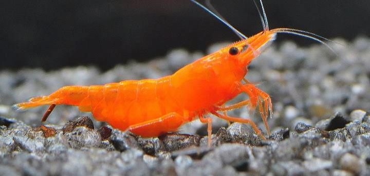 Orange Sakura Shrimp (Red Cherry variant)