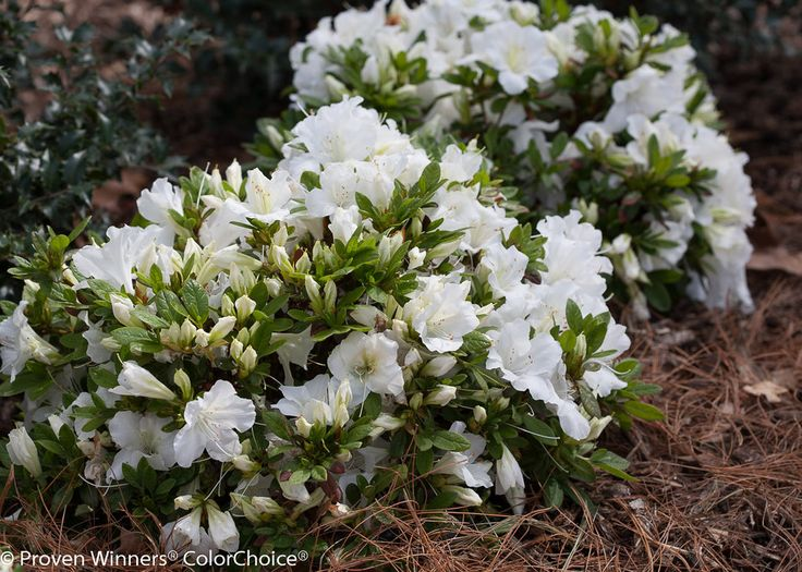 Best Azaleas Rhododendrons Images On Pinterest Flowers