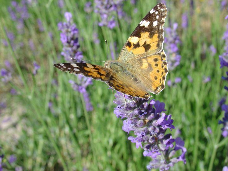 Envol #fleurs #flower #papillon #butterfly