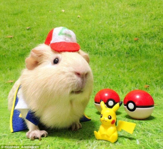 Catch em all: Morpheus the guinea pig has found fame on social media after her owner started dressing her up in costumes, like Ash from Pokemon (above)