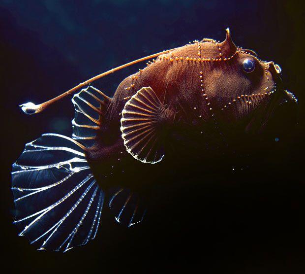 Deep-sea Anglerfish