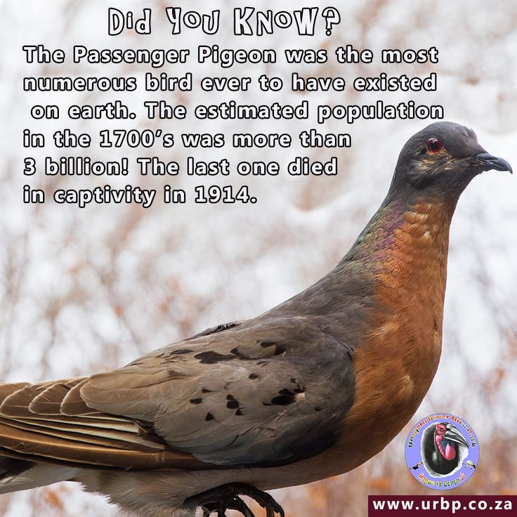Did You Know? The Passenger Pigeon was the most numerous wild bird ever to have lived on earth. The estimated population in the 1700's was 3 billion! The last one died in captivity in 1914.  We may not have any Passenger Pigeons but we do have more than 10 species of pigeon and dove in our collection. Come down and meet them all soon.  #umgeniriverbirdpark #umgenibirdpark #birds #birdsofinstagram #pigeon #durban #facts #trivia #nature #kzn