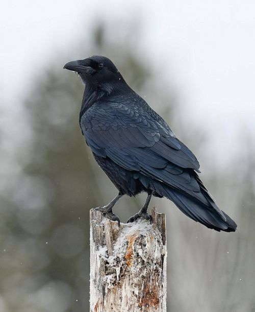 Raven's amaze me. When I was a little girl I remember watching the murder of ravens and thinking about how beautiful they were. I sometimes think if I came back as an animal it would be a Raven. Ooooooo Shiny Things!