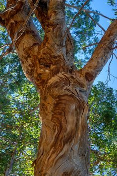 Natural Liquify (2017).  This tree looks like I might have excessively used photoshop liquify tool, but the natural bark patterns are fascinating.  You Yangs, Vic. Australia. Words & Image: © Gary Light (9807, 2017). Creative Commons: (CC BY-NC-ND4.0).  #photography #nature #landscape #trees #victoria #australia #walking #hiking #youyangs