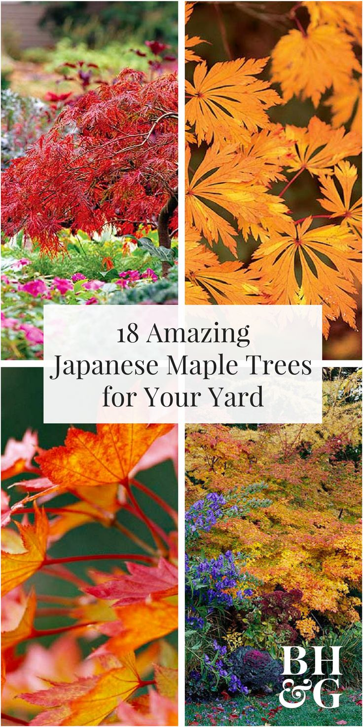 Add interest to your yard with a beautiful Japanese maple tree. With colorful leaves and weeping limbs, these trees make a graceful and dramatic accent to your landscape. Plus, they also work great in small spaces! #gardening #japanesemaple #landscaping #trees
