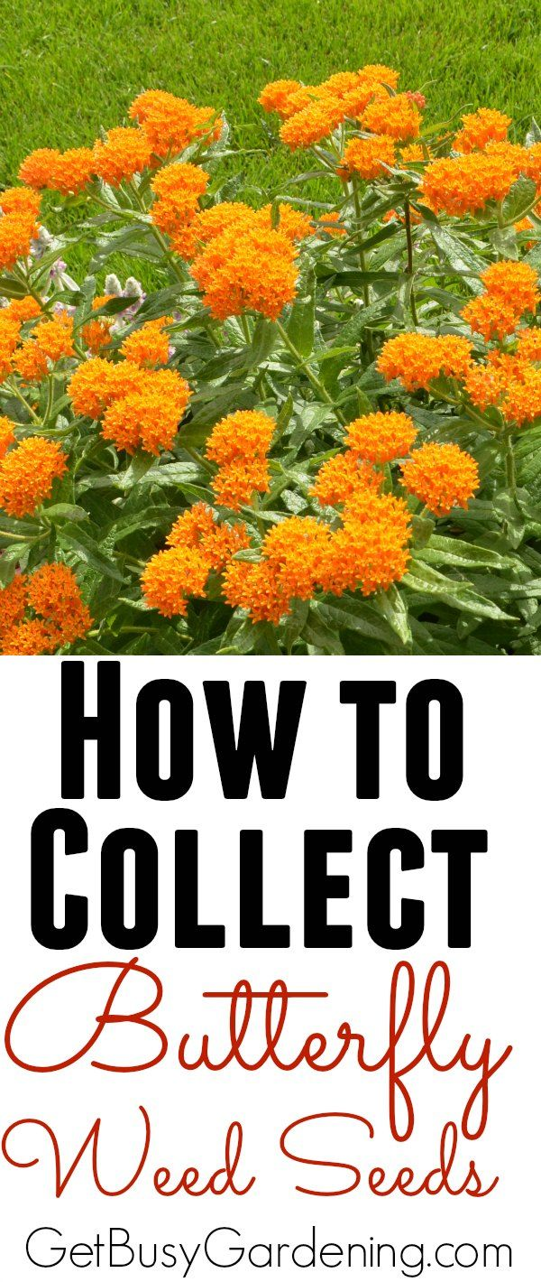 Ok, here's my tip of the day... don't attempt to collect butterfly weed seeds outside, otherwise every time the wind blows you'll be chasing them down the street. There's an easier way. Click here to learn How To Collect Butterfly Weed Seeds From The Garden | GetBusyGardening.com